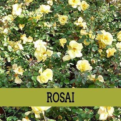 una pianta delle rose di color giallo