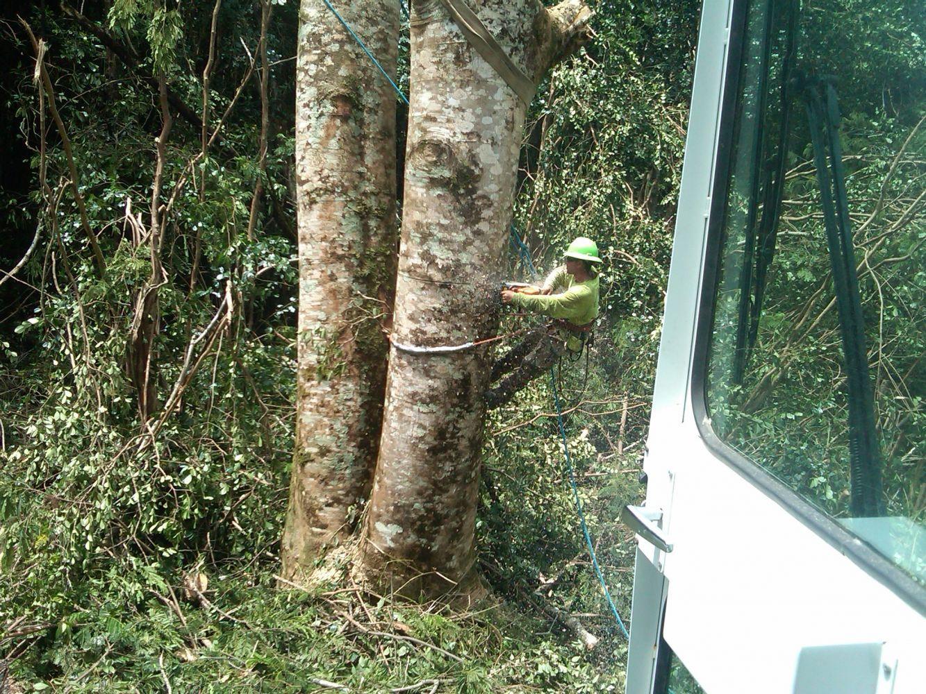 Tree trimming underway in Hilo, HI