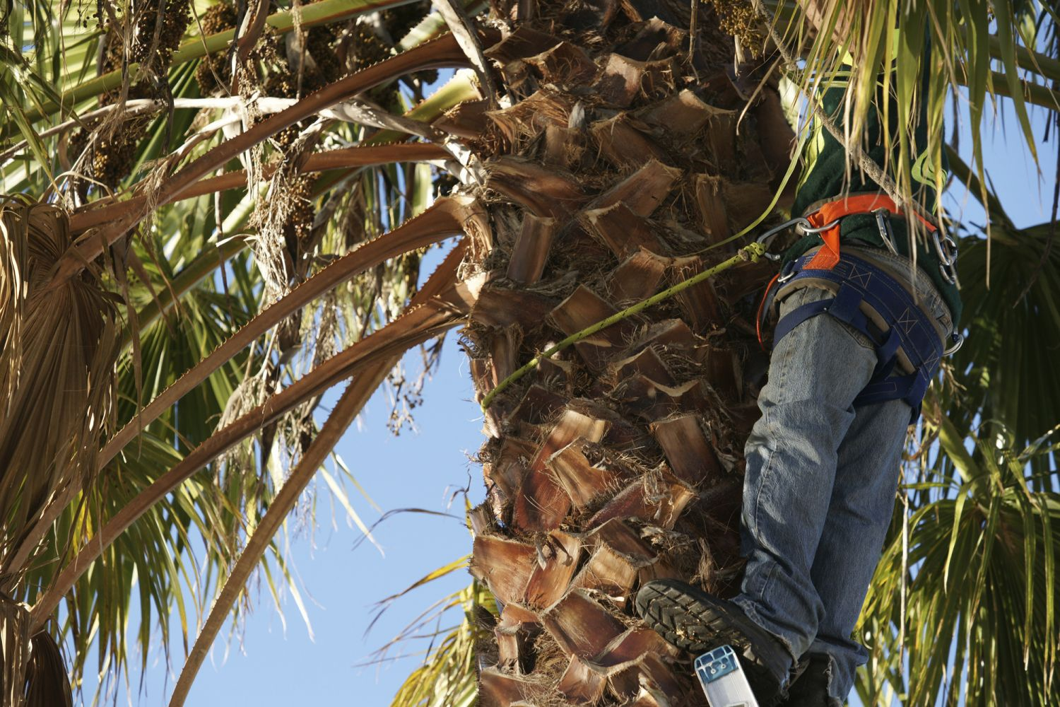 Worker is trimming trees, part of the many tree services offered in Kamuela and Kona, HI