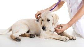 labrador dal veterinario