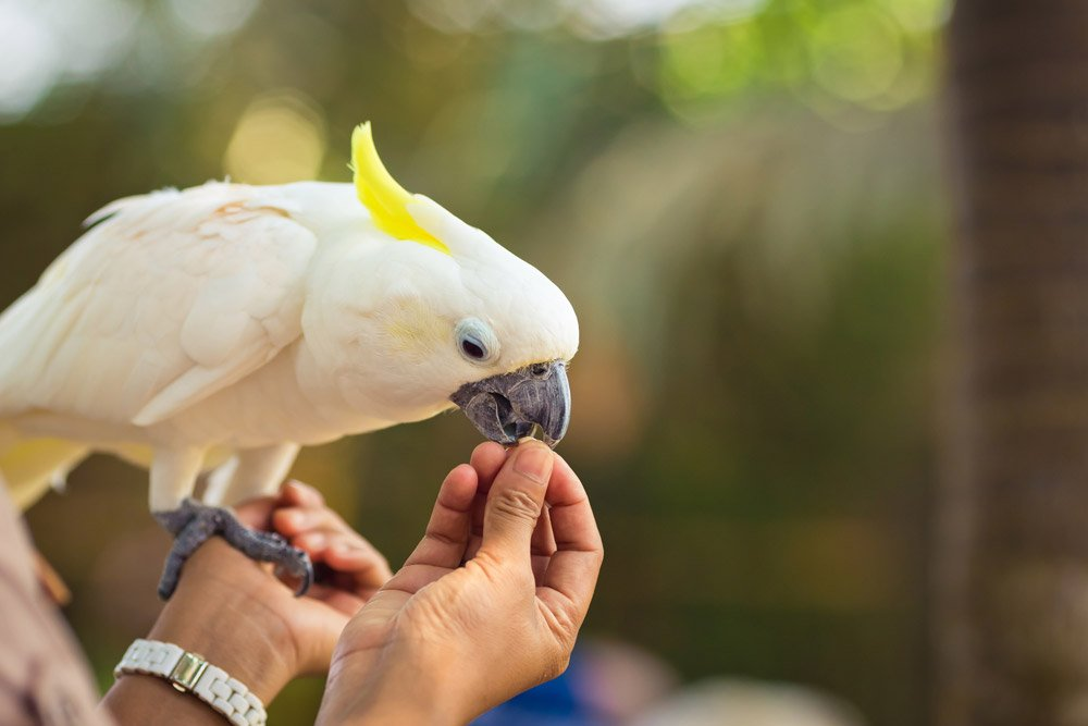 Beautiful white Cockatoo is eating from hands