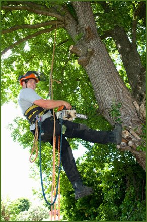 A tree surgeon working up a tree