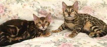 2 bengal kittens
