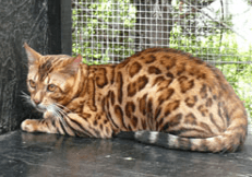 well bred bengal cat