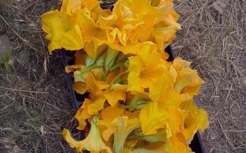 fiori di zucca orto