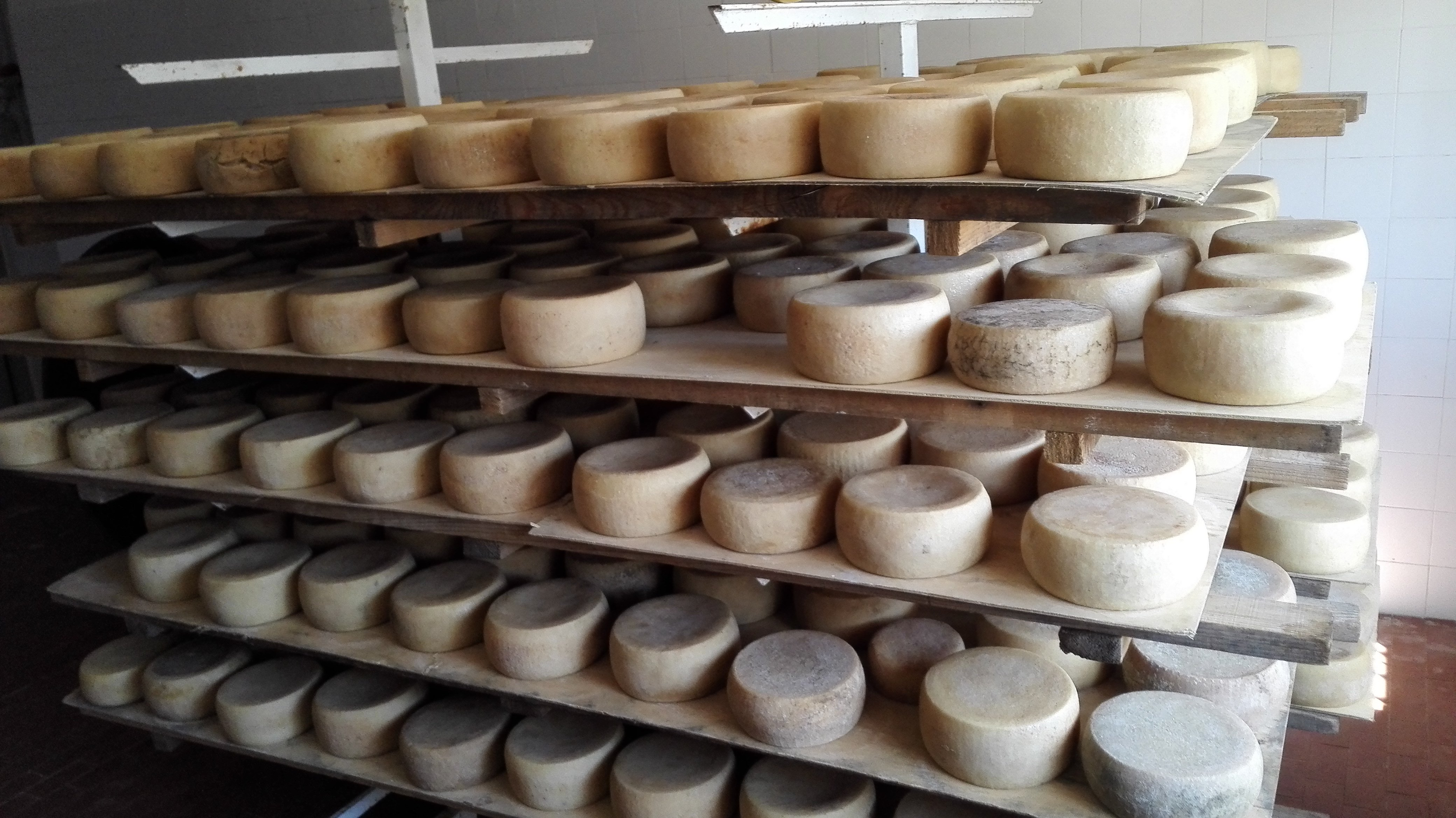 Forme di formaggio in stagionatura sugli scaffali