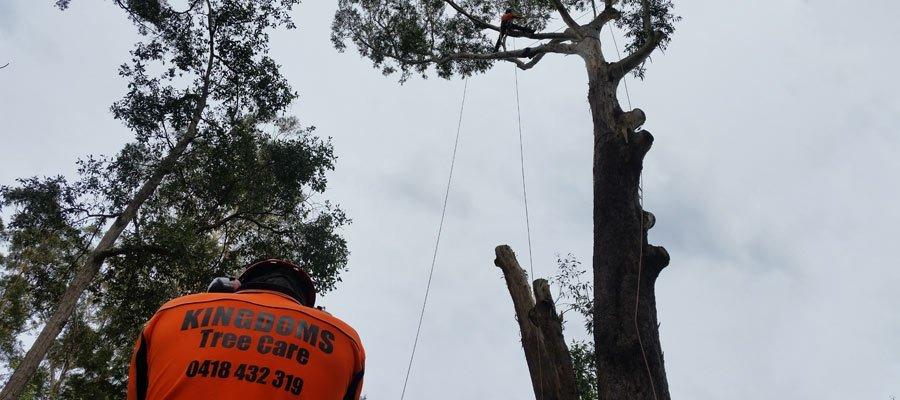 kingdoms  tree  care arborist using safety equipment