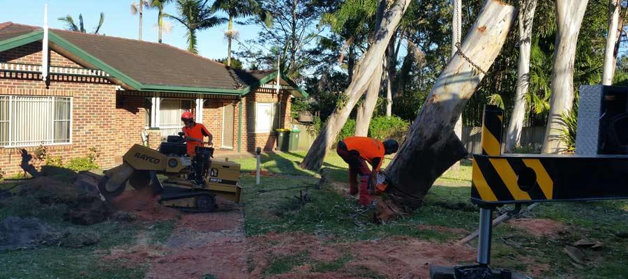 kingdoms tree care arborist working on tree removal