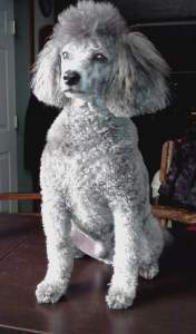 10 year old Poodle