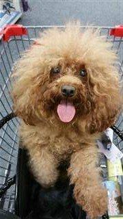 fluffy-poodle