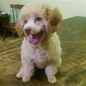3 month old Poodle