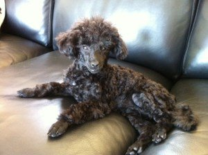 3 year old Poodle