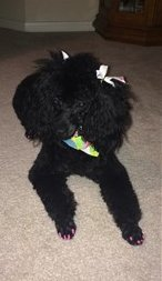 poodle with nail polish