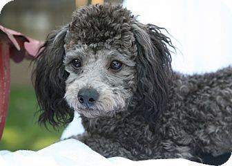 black and gray poodle