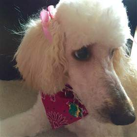 close up of white standard Poodle