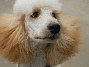 3 year old standard Poodle