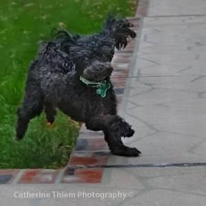 11 year old black Poodle