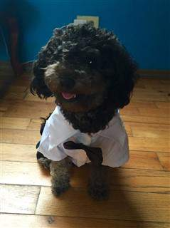 poodle smiling
