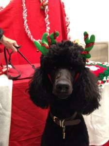 Poodle with antlers