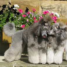 two Poodles kissing