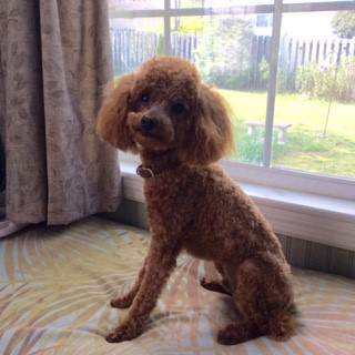 rust red colored Poodle