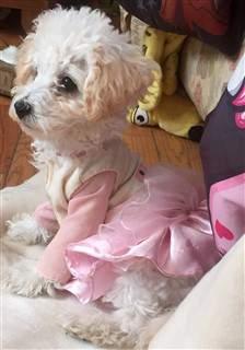 toy Poodle female white