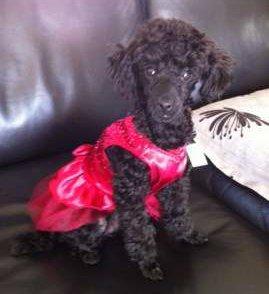 18 month old black Poodle