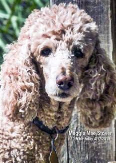 standard Poodle outside in the summer