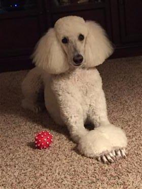 Poodle Intelligence