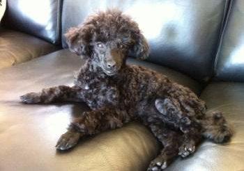 black Poodle on sofa