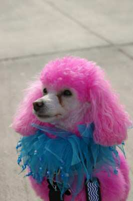 brightly painted Poodle