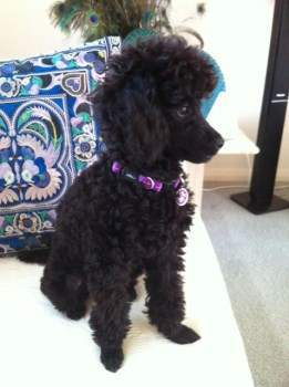 cute black Poodle sitting
