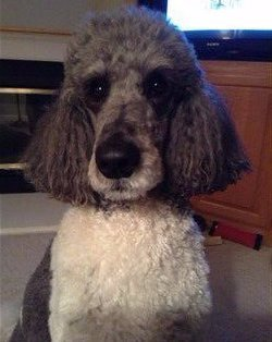 gray and white parti poodle