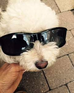 Poodle with sun glasses