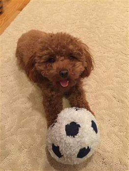 Toy Poodle playing with stuffed soccer ball