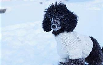 poodle-in-white-sweater-