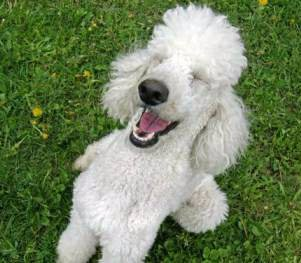 funny Miniature Poodle laughing