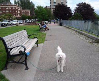 Poodle at park tied to bench