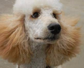 close up photo of standard Poodle