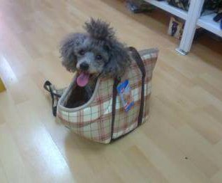 Poodle in owner's bag