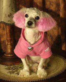 Poodle with pink ears