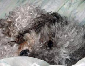 Poodle puppy with silver gray hair