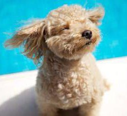 Poodle puppy with wind on face