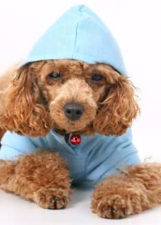 Poodle puppy with blue shirt on