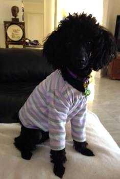 Poodle with clothes on