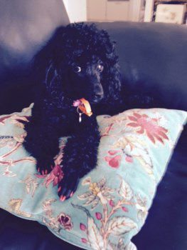 Poodle with painted nails