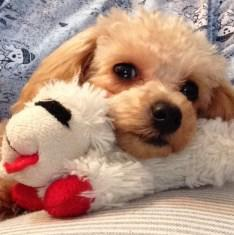 small toy Poodle puppy