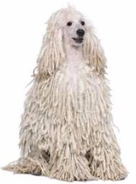 Standard Poodle with cord coat