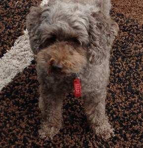 toy poodle 8 years old