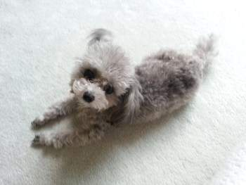 Poodle spread out on floor
